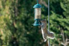 Grey Squirrel Stealing Food Fr...