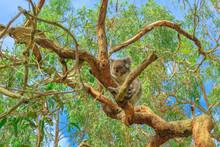 Koala Bear, Phascolarctos Cine...