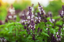 Holy Basil With Flowers In A G...