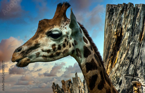Photo Giraffe (Giraffa) is an African artiodactyl mammal, the tallest living terrestri