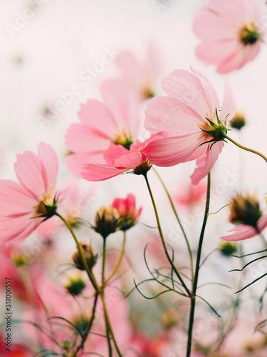 rozowe-kwiaty-w-ogrodzie