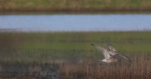 Curlew Wading Birds Flying Ove...