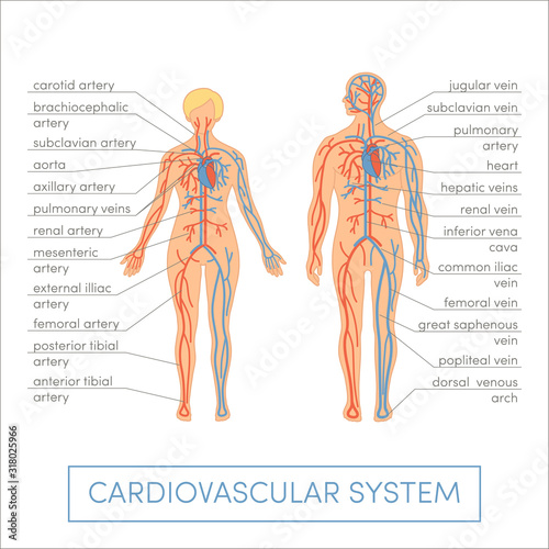 Obraz Cardiovascular system of a human. Cartoon vector illustration for medical atlas or educational textbook. Male and female physiology. - fototapety do salonu