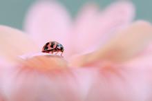 Close-Up Of Ladybug On Pink Flower