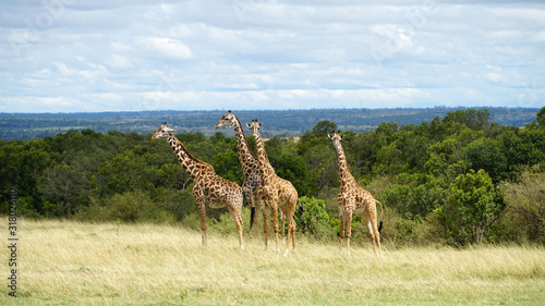 Free Giraffes in National Park of Kenya, Africa Canvas Print