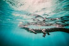 Crocodile Swimming In Sea