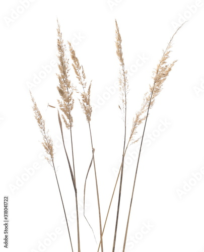 Dry common bulrush reeds isolated on white background, clipping path