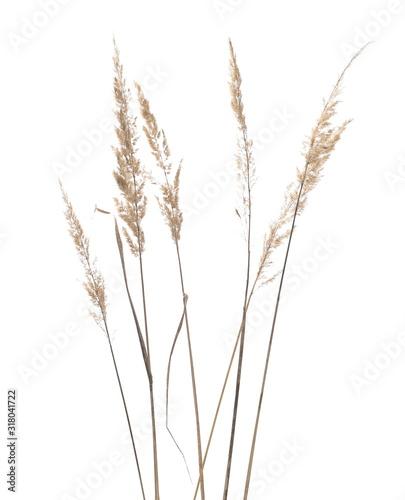 Fototapeta Dry common bulrush reeds isolated on white background, clipping path obraz