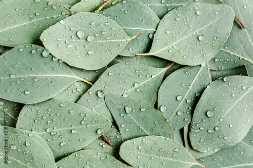 Obraz Background/Texture made of green eucalyptus leaves with raindrop, dew. Flat lay, top view - fototapety do salonu