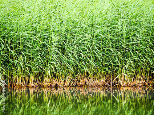 Obraz na plátně Green sedge in the water. Natural background or texture.
