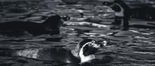 Swimming Penguines