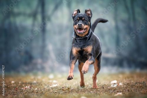 Rottweiler Running On Field Wallpaper Mural
