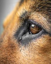 German Shepherd Eye Closeup