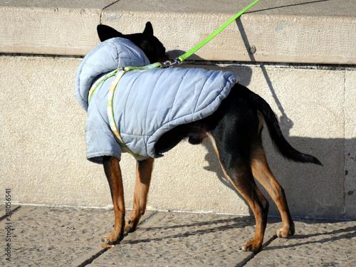 Ritratto di un cane timido vestito col giubbino Canvas Print