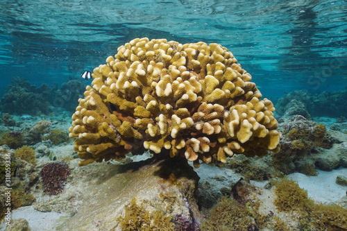 A healthy colony of cauliflower coral underwater (Pocillopora Sp.), Pacific ocean, Bora Bora, French Polynesia, Oceania #318059336