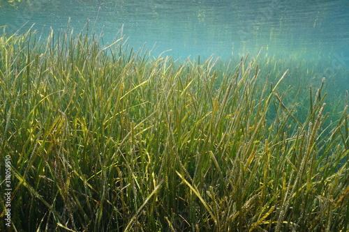 Seagrass underwater, little neptune grass, Cymodocea nodosa, Mediterranean sea, Spain, Costa Brava, Cap de Creus #318059510