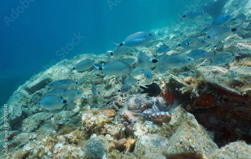 Underwater a shoal of fish (saddled seabream) with an octopus on a rocky bottom, Mediterranean sea, Spain, Costa Brava, Palamos, Catalonia #318059541