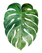 canvas print picture Beautiful watercolor tropical leaf painted on white paper, top view