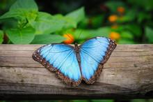 Blue Morpho Butterfly, Morpho Peleides, Resting On A Tree Trunk