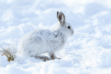 White Snowshoe Hare Sitting On...