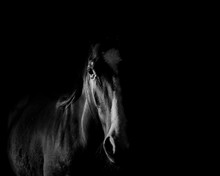 Portrait Of Horse Standing Against Black Background
