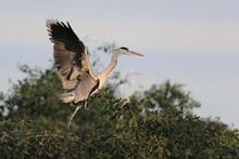 Beautiful Shot Of A Great Blue Heron Getting Ready To Fly Off The Tree