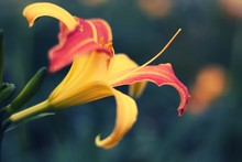 Closeup Of An Orange Lily In A Garden Under The Sunlight With A Blurry Background