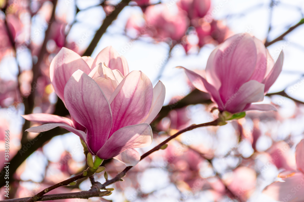 Fototapeta magnolia tree blossom in springtime. tender pink flowers bathing in sunlight. warm april weather