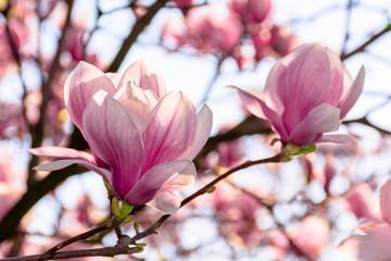 stablo magnolije cvjeta u proljeće. nježno ružičasto cvijeće kupajući se na sunčevoj svjetlosti. toplo travanjsko vrijeme