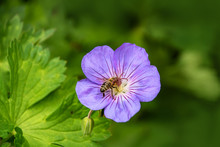 Wood Cranesbill With Bee, Woodland Geranium, Geranium Sylvaticum. Wild Forest Geranium Close Up