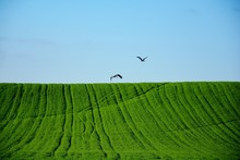 Two Storks Flying On A Green F...