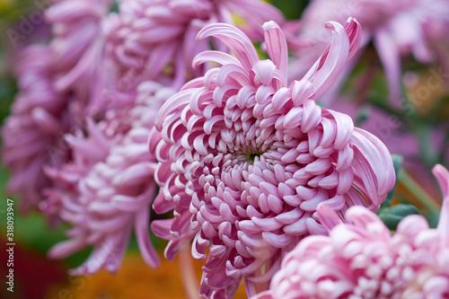 Fotografia Chrysanthemum grandiflorum Ramat