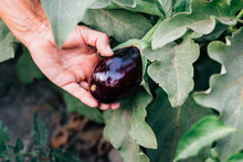 Close-Up Of Man Holding Eggplant Growing On Plant