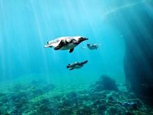 Penguins Swimming Undersea