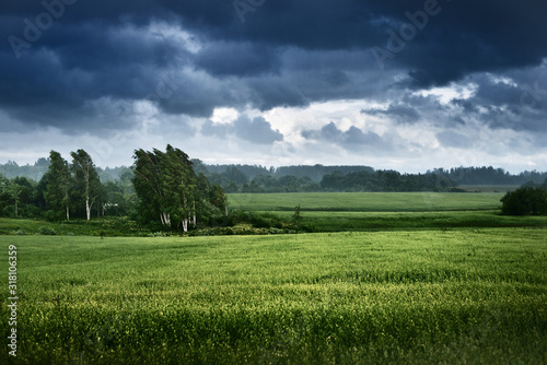 Obraz Green field and forest in the background. Birch trees close-up. Dark storm clouds. Country landscape. Latvia - fototapety do salonu