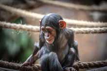 Young Chimpanzee Sitting On Rope At Zoo