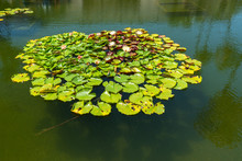 Lily Pond With Beautiful Refle...