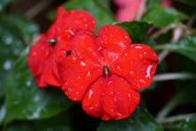 Red Impatiens Flower With Rain...