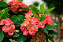 Crown Of Thorns Red Flower
