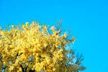 White Meranti Begins To Bloom ...