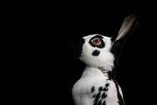 Close-Up Of Rabbit Against Black Background
