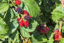 Blackberry Bush With Ripe And Unripe Blackberries