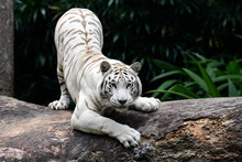 Portrait Of White Tiger On Tree Trunk