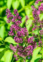 Syringa Lilac Species Of Flowe...