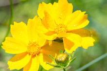 Coreopsis Calliopsis And Ticks...