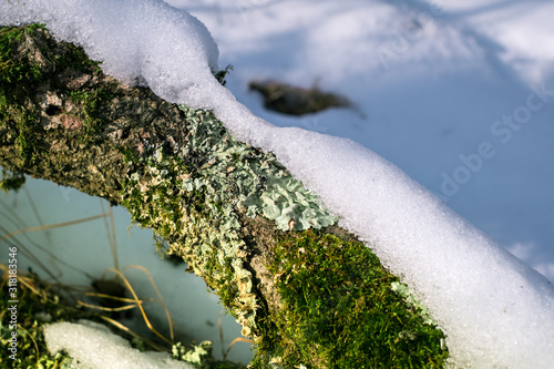 Photo snow on branches with moss and lichen