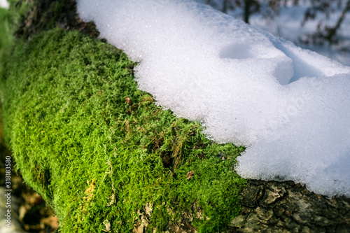 snow on branches with moss and lichen Wallpaper Mural