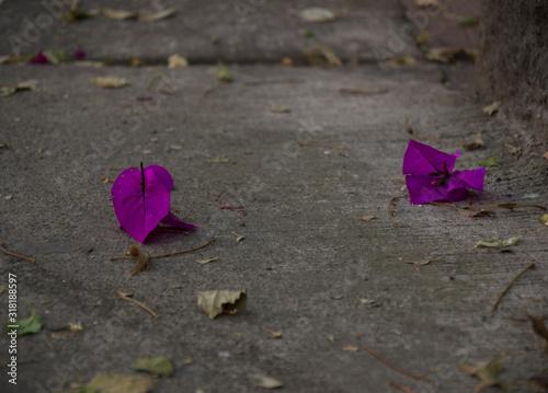 Fotografie, Tablou Purple pink Bougainvillea petal on the pavement