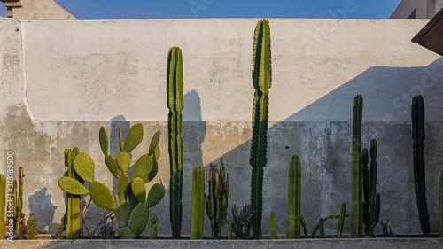 Obraz na płótnie Cactus against a concrete wall Mexico City