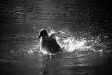 Female Mallard Duck Splashing Water In Lake